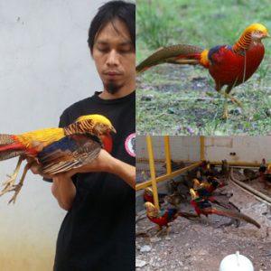 jual ayam tibet golden pheasant
