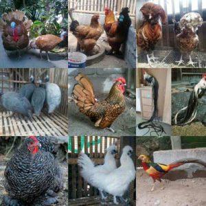 jual ayam hias