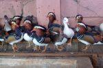 jual bebek mandarin dan bebek hias lainnya