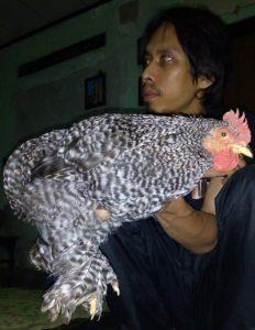 foto ayam cochin