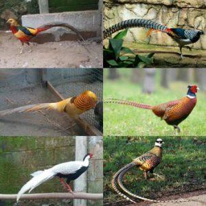 jual ayam pheasant