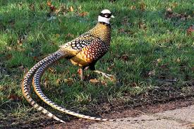 ayam reeves pheasant