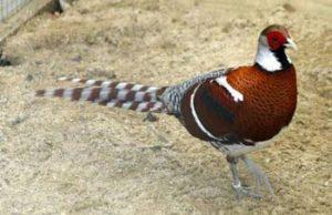 elliot pheasant