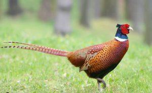 ringnecked pheasant