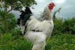 jual ayam brahma original