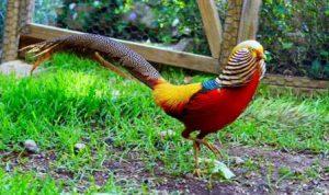ayam golden pheasant