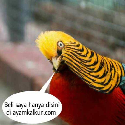 ayam golden pheasant logo