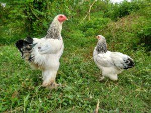8 Fakta Ayam Brahma Yang Penting Anda Ketahui