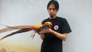 10 Jenis Ayam Pheasant Terpopuler di Indonesia