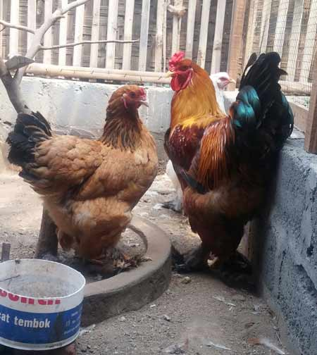 ayam brahma jenis buff