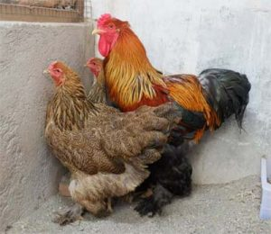 Cek Disini - Harga Ayam Brahma Terbaru 2020 - 2021