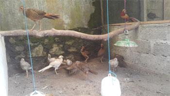 anakan golden pheasant