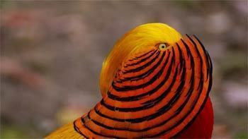 Jual Ayam Golden Pheasant Ayam Hias Dari Tibet