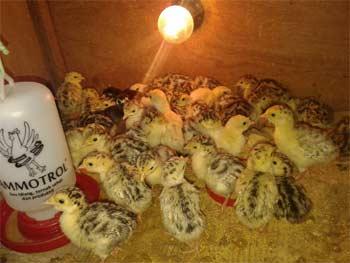 Anda Mencari Bibit Ayam Hias ? Cek Penawaran Kami Disini