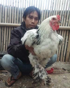 5 Hal Seputar Ayam Brahma Yang Menarik Untuk Diketahui