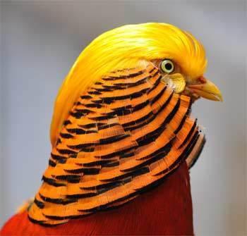 Ayam Golden Pheasant | Asal usul, Karakteristik dan Faktanya