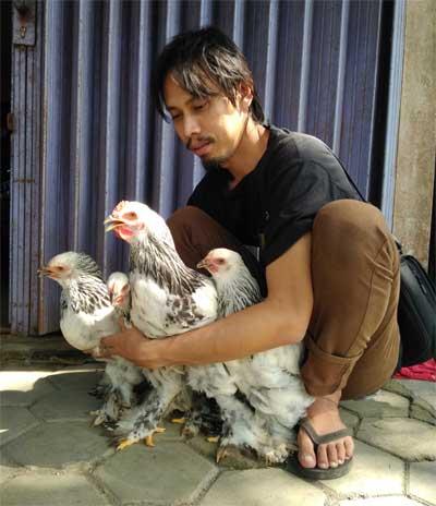 Jual Ayam Brahma Murah, Original & Bergaransi