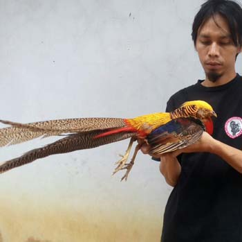 jual ayam golden pheasant