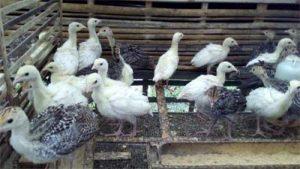 Harga Jual Bibit Ayam Kalkun Terbaru 2020 - 2021