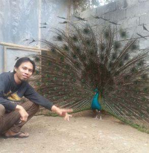 Jual Burung Merak Putih / White Peacock