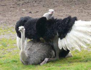 Jual Burung Unta Anakan Siap Untuk Diternak