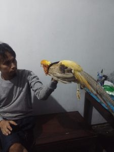 jual yellow pheasant