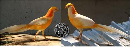 5 Jenis ayam pheasant : Peach pheasant