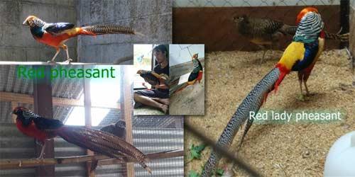 5 Jenis ayam pheasant : red pheasant