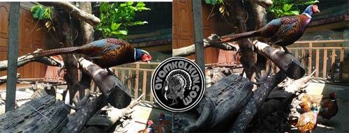 5 Jenis ayam pheasant : Ringnecked Pheasant