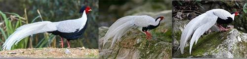 5 Jenis ayam pheasant : Silver pheasant