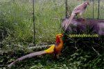 jenis ayam pheasant yellow pheasant
