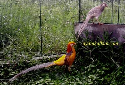 5 Jenis ayam pheasant : yellow pheasant