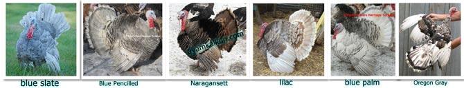 blue dan naragansett turkey