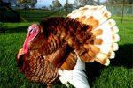 ayam kalkun coklat / bourbon red turkeys