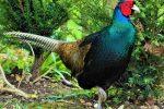 jual ayam ringnecked pheasant hijau