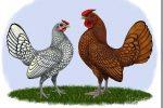 foto jual ayam batik