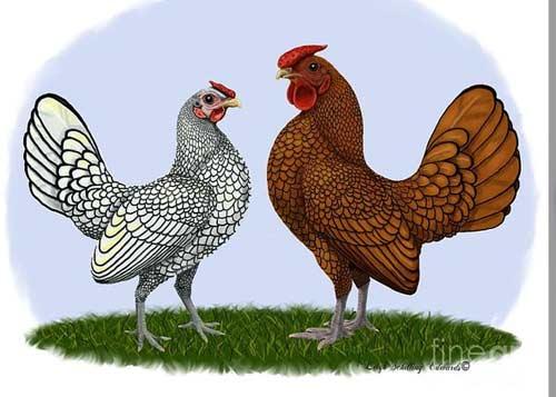 jual ayam batik : tersedia jenis golden dan silver