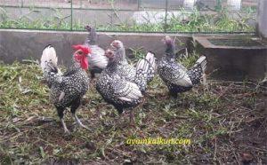 Jual Ayam Batik : Tersedia Jenis Golden & Silver