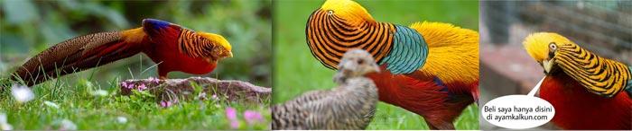 jual golden pheasant dewasa