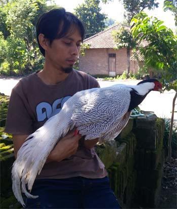 Jual Silver pheasant 2020