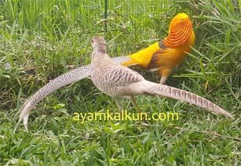 Jual Yellow Pheasant - Tersedia Remaja dan Indukan