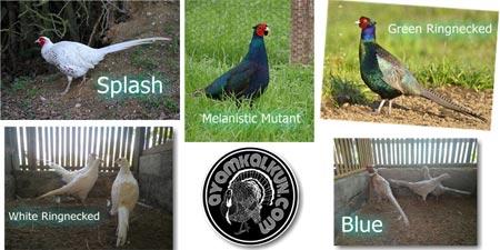 5 Jenis ayam pheasant : Ringnecked Pheasant sub jenis