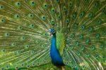 15 fakta burung merak