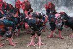 Peluang Budidaya Ayam Dong Tao Di Indonesia