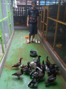 16 Fakta Bebek Mandarin Yang Jarang Diketahui
