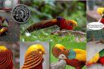 budidaya golden pheasant