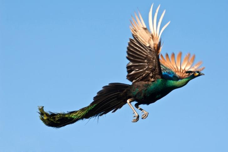 Burung merak terbang Diudara