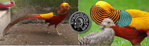 The Golden Pheasant Bird