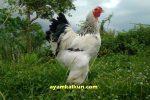 harga ayam brahma terkini