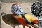 harga ayam pheasant